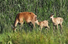 Red Deer hind with twin calves_P6E4171-1