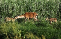 Red Deer hind with twin calves_P6E4185-1