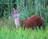 Red Deer hind_P6E4213-1