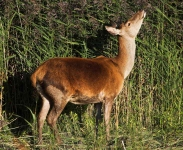 Red Deer hind_P6E5805-1