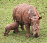 Rhino and calf-2354
