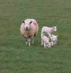 Sheep and 3 Lambs-WP6E0430