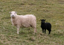 Sheep and Lamb-++_5384_RT16
