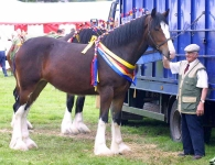 Shire horses-Cartmel_6490