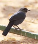 Square Tailed Drongo-3932
