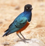 Superb Starling-3494