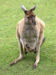 Wallaby with joey - 2520
