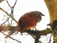 White Browed Coucal-3374
