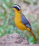 White Browed Robin Chat-4008