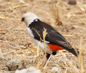 White Headed Buffalo Weaver-3498