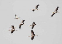 Yellow Billed Storks flying-3972