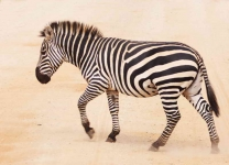 Zebra crossing-3559