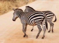 Zebras crossing-3557