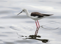0619 - Black winged Stilt