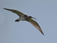 8346 - Curlew