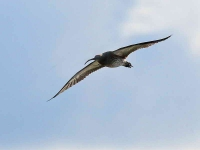 8382 - Curlew