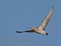 8388 - Curlew