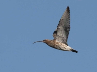 8391 - Curlew