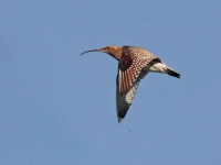 8392 - Curlew