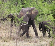 African Elephant family-4451