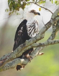 African Fish Eagle - juv-4508