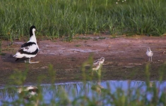 Avocet and chicks_4768