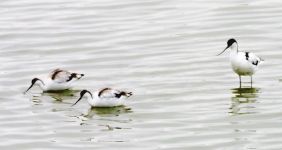 Avocet with chicks wading_4222