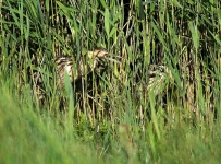Bittern and chick_P6E4142-1