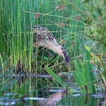 Bittern chick fishing_P6E4219-1