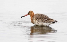 Bl Tailed Godwit-summer_P6E4699-01
