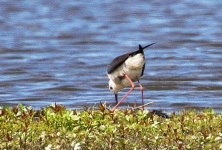 Bl Winged Stilt adjusts nest