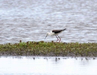Bl Winged Stilt adjusts nest_0241