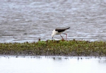 Bl Winged Stilt adjusts nest_0242