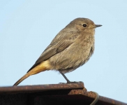 Black Redstart - Hen