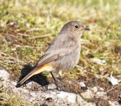 Black Redstart - Hen (2)