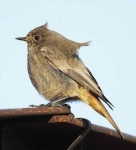 Black Redstart - Hen (3)