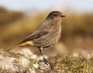 Black Redstart - Hen_