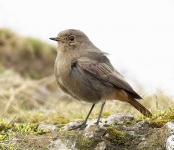 Black Redstart_female
