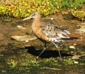 Black Tailed Godwit-0052