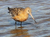 Black Tailed Godwit-0058