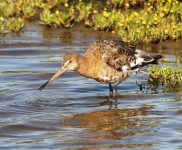 Black Tailed Godwit-0063
