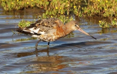 Black Tailed Godwit-0067
