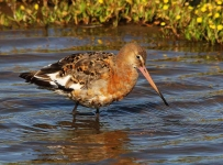 Black Tailed Godwit-0070