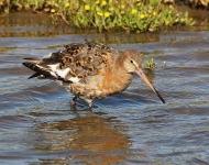 Black Tailed Godwit-0071