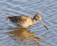 Black Tailed Godwit-0078