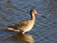 Black Tailed Godwit-0080
