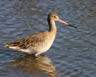 Black Tailed Godwit-0081