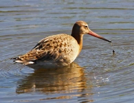 Black Tailed Godwit-0109
