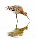 Black Tailed Godwit_4263