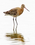 Black Tailed Godwit_4272
